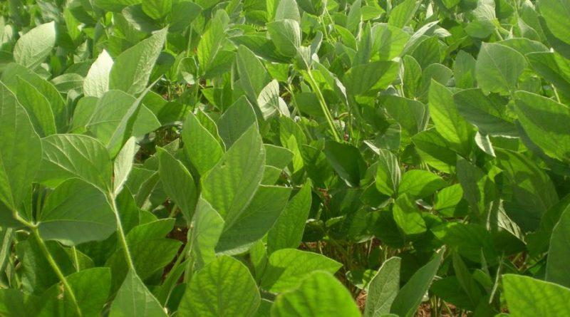 soja plantação