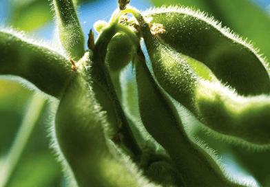 A história da soja