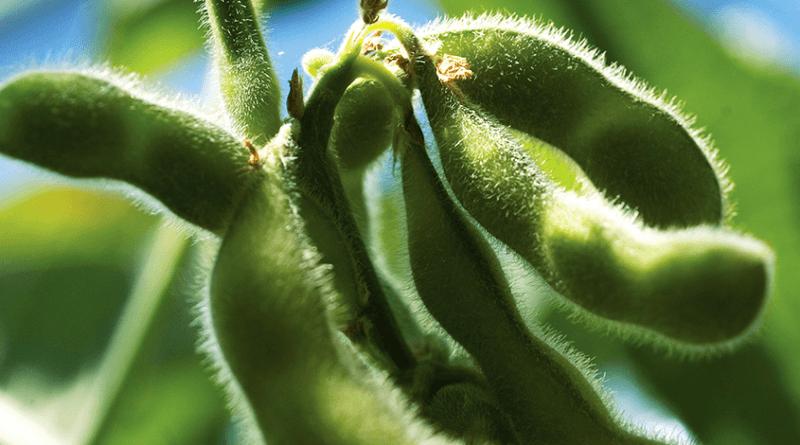 A importância do Aminoácido Prolina no cultivo da soja no Brasil