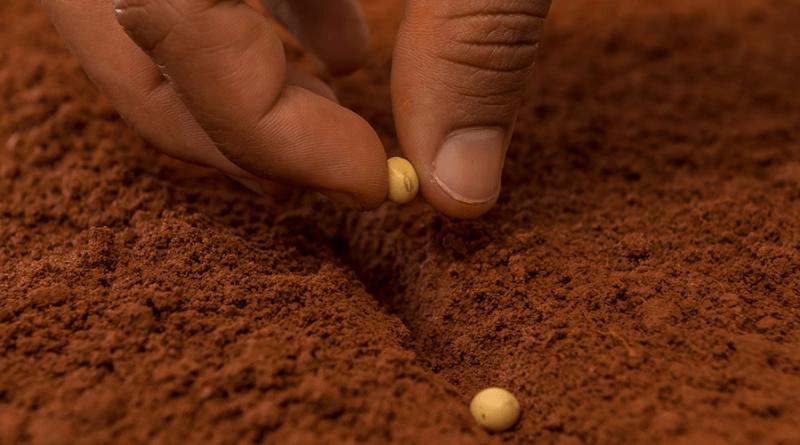 semente soja plantio