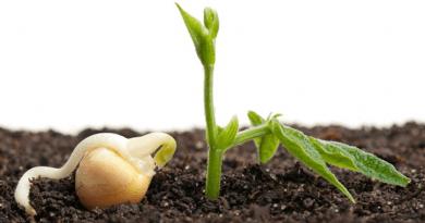 soja semente germinação