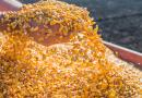Com exportação e demanda por carne, estoque de milho do Brasil será justo no início de 2020