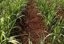 Adubação biológica com Microgeo em cana, contribui para preservação do solo