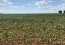 Produtor de soja do Rio Grande do Sul prevê perdas de 40% por falta de chuvas