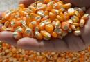 Preço do milho cai ainda mais no Brasil