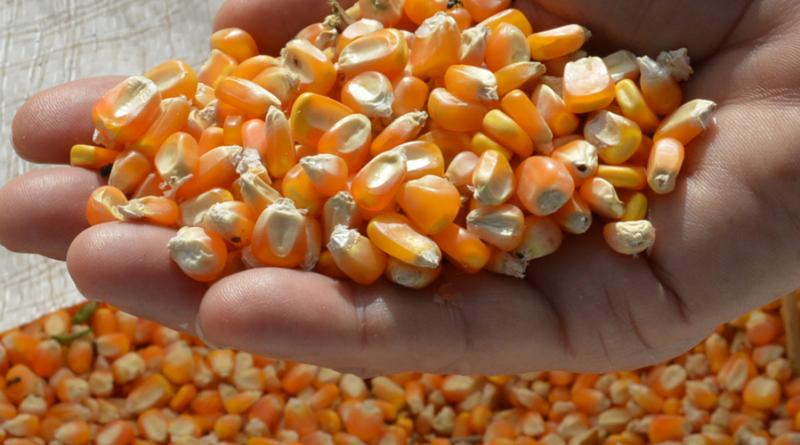 Compradores recuam para baixar preço do milho