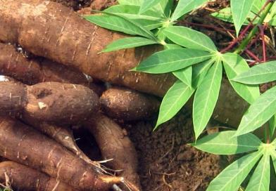 Publicado zoneamento agrícola da mandioca