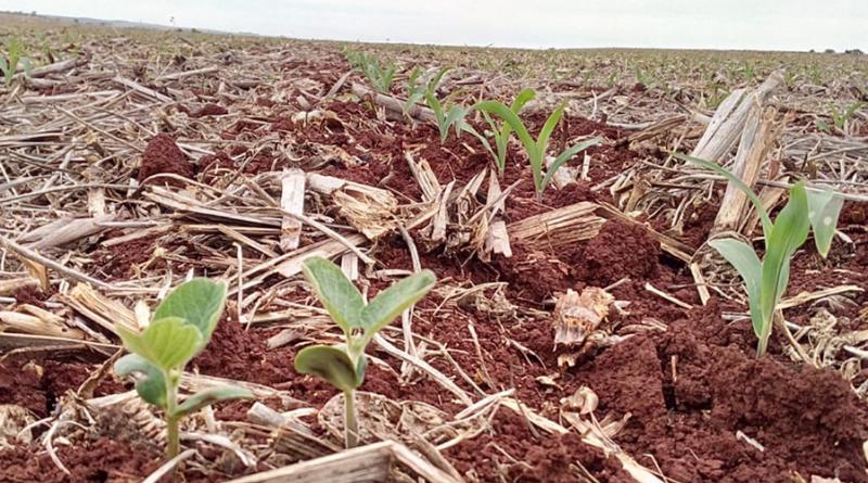 PR: erradicação de plantas de soja tiguera em meio ao milho favorece vazio sanitário da soja