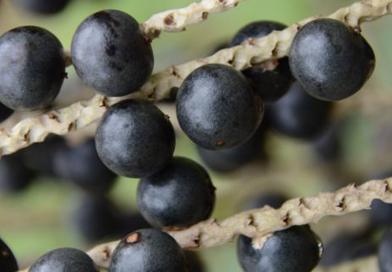 Vendas de sementes de açaí de terra firme seguem pela internet