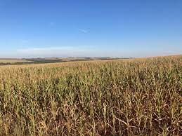 Milho safrinha: previsão no Paraná é de menos da metade da safra passada