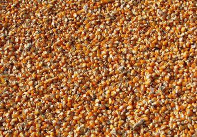 Custo do milho subiu mais que preço: O que fazer?