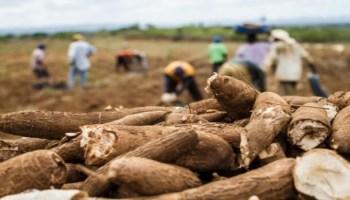Mandioca/Cepea: Preços continuam firmes